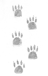 Five coyote paw prints!