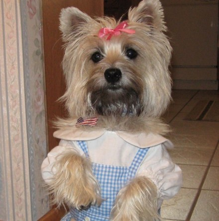 Cairn Terrier dressed as Dorothy from the Wizard of Oz.
