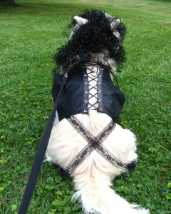 Cairn Terrier dresses as Dr. Frankenfurter for Halloween.