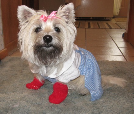 Cairn Terrier wears Dorothy costume from the Wizard of Oz, complete with little red shoes.