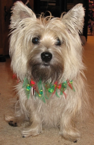 Very shaggy little Cairn terrier.