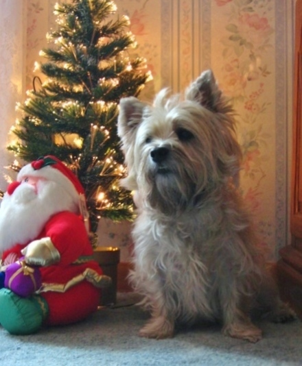 Cairn terrier sits next to Christmas tree and stuffed Santa.