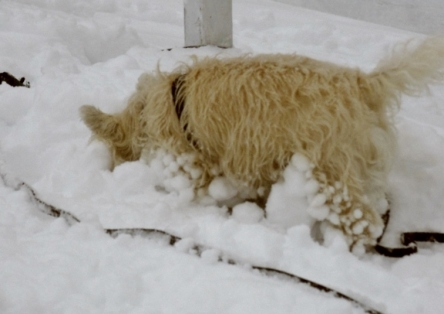 Dog plays in snow.