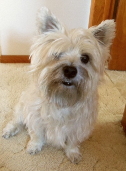 Cairn terrier with messy fur.