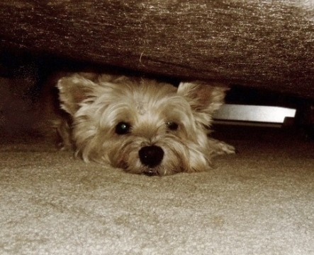 Stubborn Cairn terrier refuses to come out from under the bed.