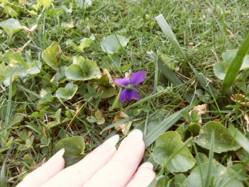 Violet blooming in Fall.