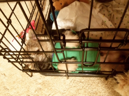 Cairn terrier puppy sleeping in kennel.
