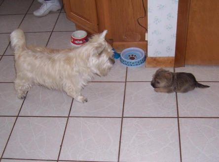 Cairn terrier adult and Cairn terrier puppy meeting on the first day.