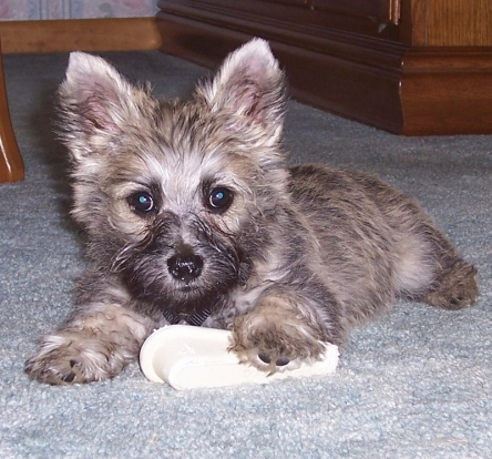 Cairn terrier puppy chewing on door stop.
