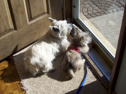 Cairn terrier adult and Cairn terrier puppy look out of the window.