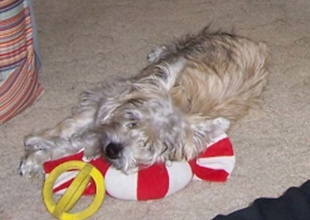 Cairn terrier puppy sleeping with his head on a peppermint toy.