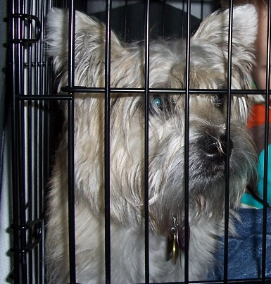 Cairn terrier in his kennel.