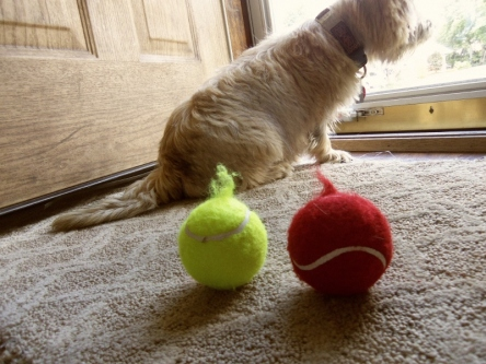 "Two tennis balls with ""handles"" and Cairn terrier sitting at door."