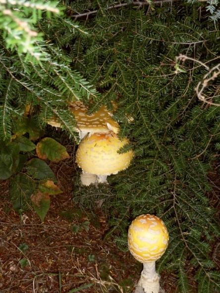 Cluster of three mushrooms.