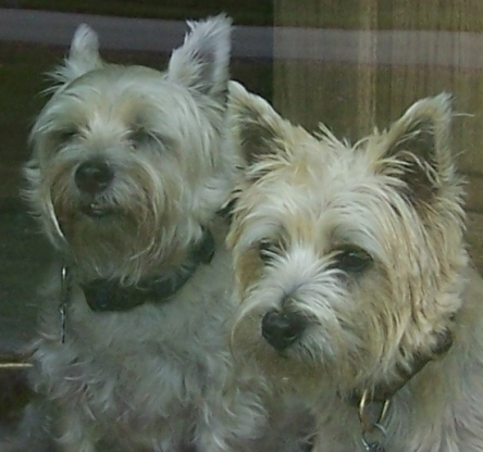 Two Wheaten Cairn Terriers look out of the door.