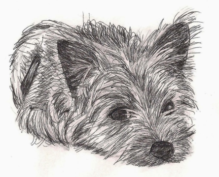 Black and white sketch of Cairn terrier puppy.