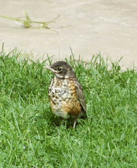 Baby robin stands in grass