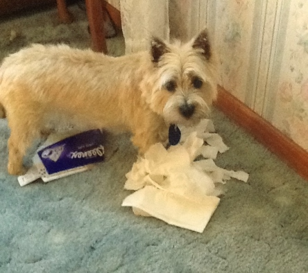 Cairn terrier puppy tears up box of tissues.
