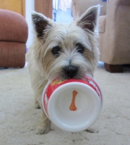 Cairn terrier puppy hold his food bowl.