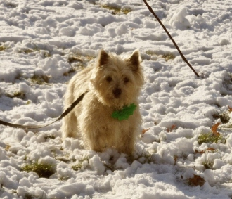 Cairn terrier pup standing in snow.