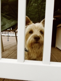 Cairn terrier pup looks between railing.