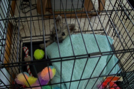 Tiny Cairn terrier puppy tucked into his kennel with his toys.