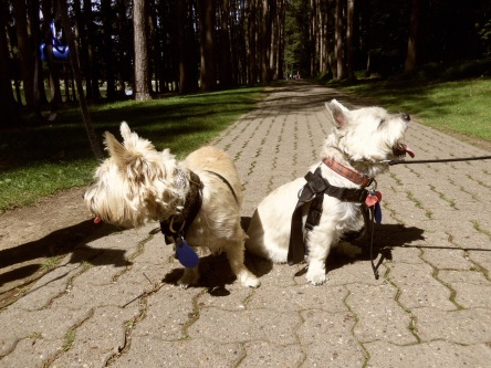Two Cairn terriers refuse to look at the camera for their portraits.