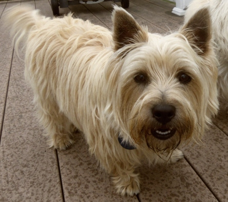 Smiling Cairn terrier boy.