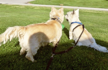 Two Cairn terrier brothers turn their backs to the camera as Mom tries to take a picture.