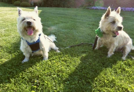 Two Cairn terriers sitting in the grass.