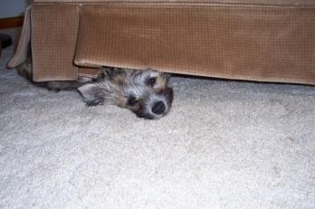 Carn terrier puppy hiding under a chair.