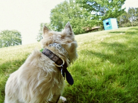 Cairn terrier turns his head away from the camera.