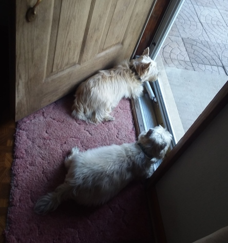 Two Cairn terriers look out the front door.