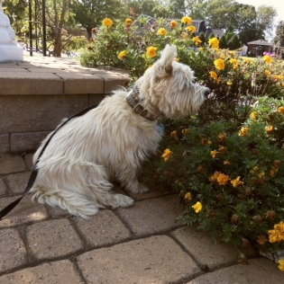 Cairn terrier sitting with marigolds.