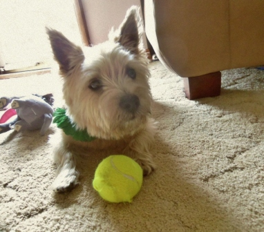Terrier pups waits next to his tennis ball.