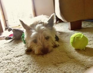 Bored terrier lies next to his tennis ball.