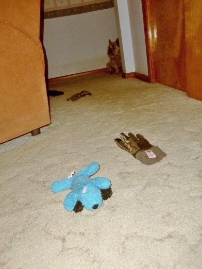 Blue puppy is to blame for the gloves on the floor.