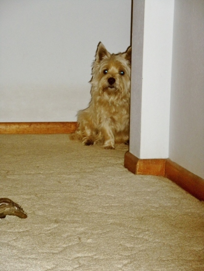 Terrier peeking around corner from his hiding place.