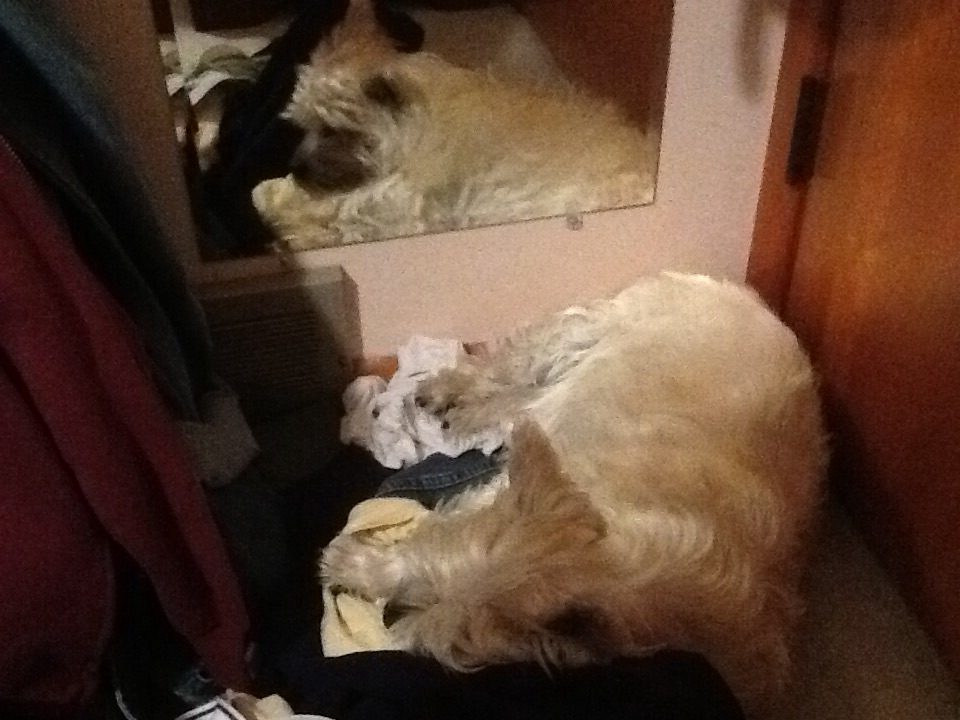 Cairn terrier sleeping in dirty laundry