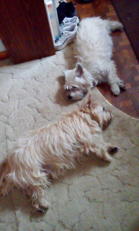 Two Cairn terriers asleep on the floor.