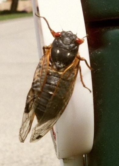 Close up image of cicadae.