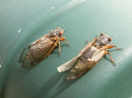Two cicadae sunning themselves.