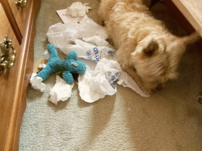 Naughty Cairn terrier tears up trash while his toy Blue Puppy watches the carnage.
