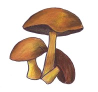 Sketch of brown mushrooms