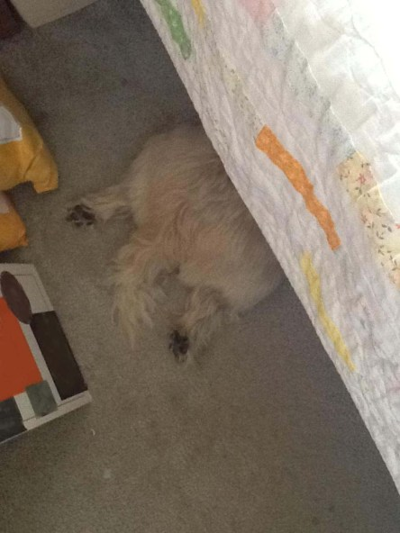 Back end of Cairn terrier sticks out from under the bed.