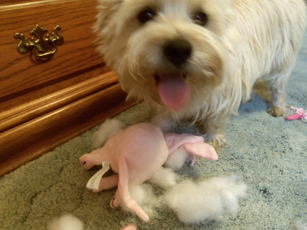 Cairn terrier stands over slain toy