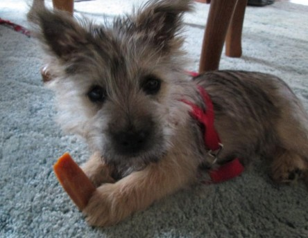 Tiny Cairn terrier puppy loks clueless as he chews his toy.