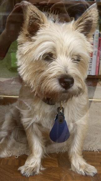 Sad Cairn terrier looks out of door.