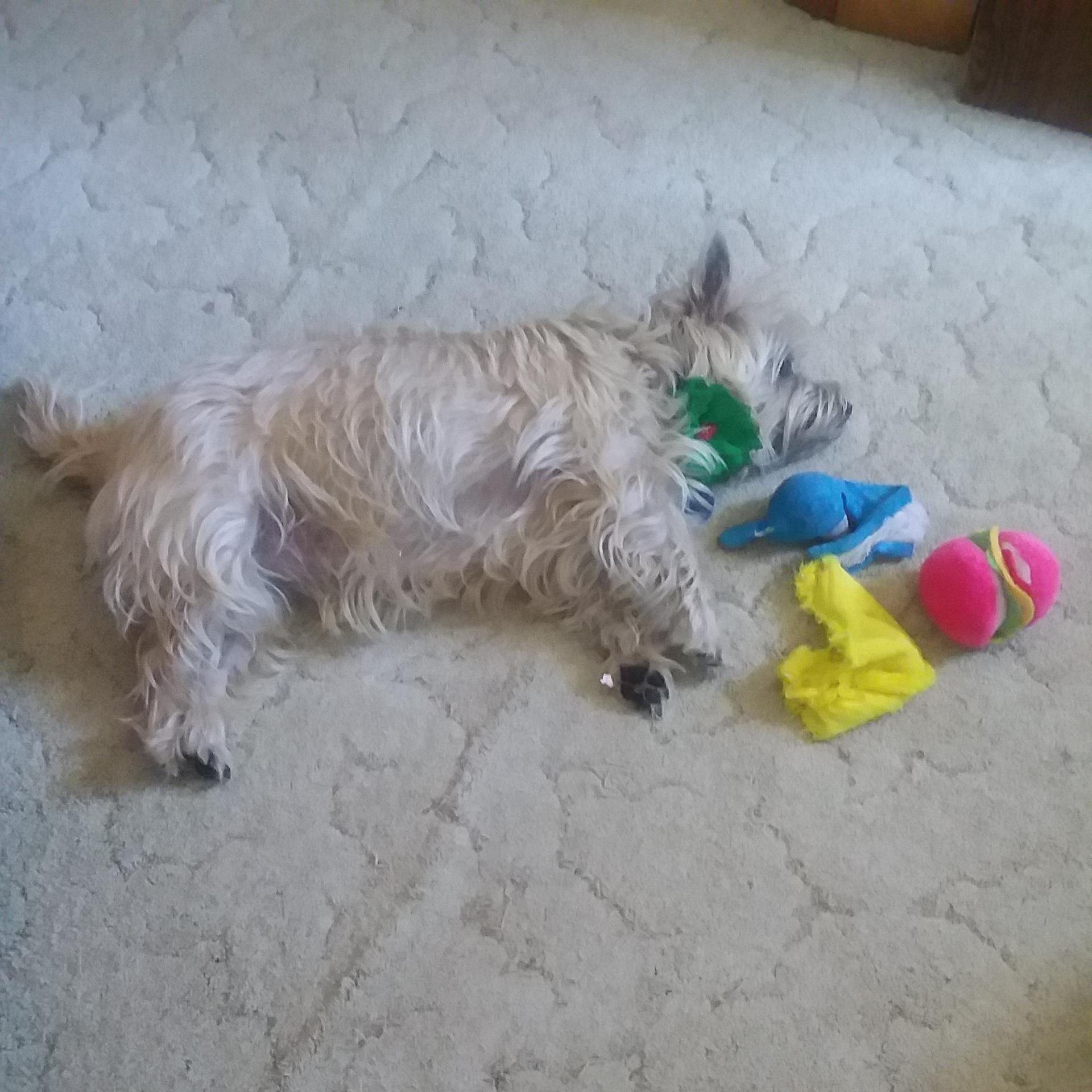 CAirn terrier lies next to stuffed toys.