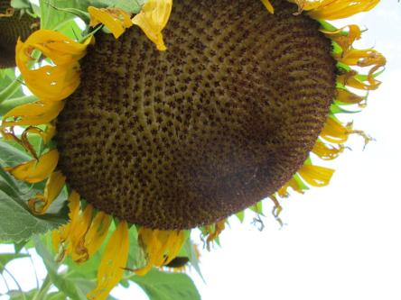 Close up of giant sunflower head.